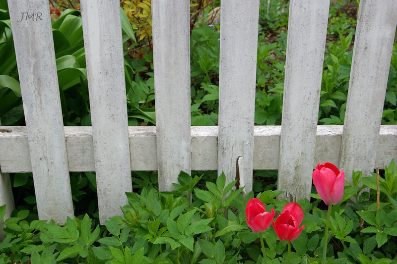 fence and tulips- Bellfountain