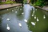 Belgium-Brugge-Wijngaardplein swans
