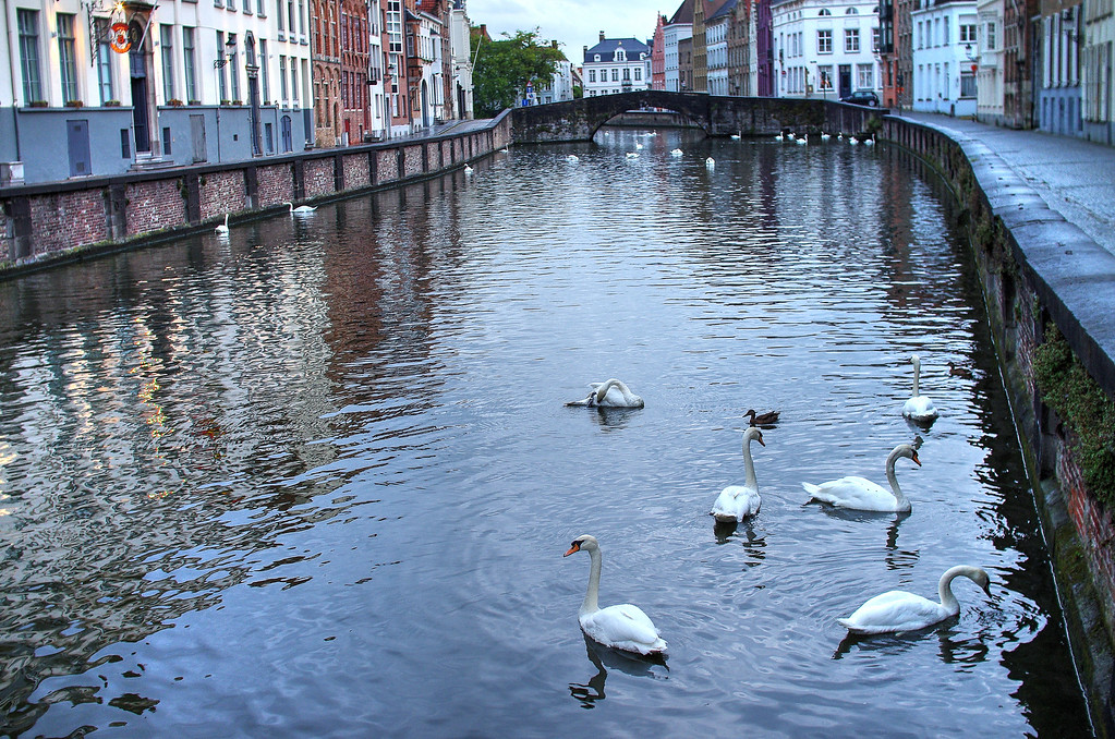 Bruges Swans in the Canal