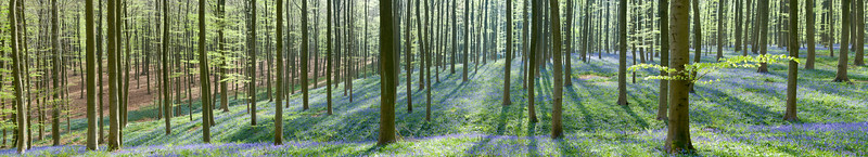Morning sun rays in bluebell forest, Hallerbos, Belgium