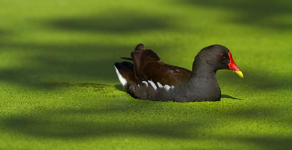 Moorhen in duckweed, Belgium