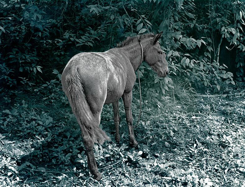 Punta Gorda Horse, Belize