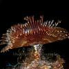 Split Crown Feather Duster