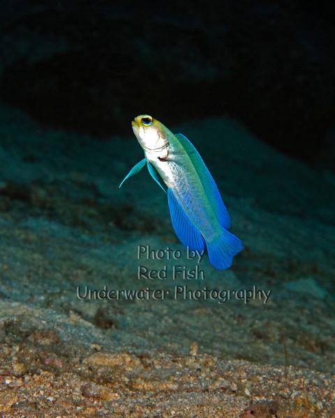 Yellow Jaw Fish