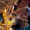 Arrowhead Crab