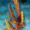 Brittlestarfish