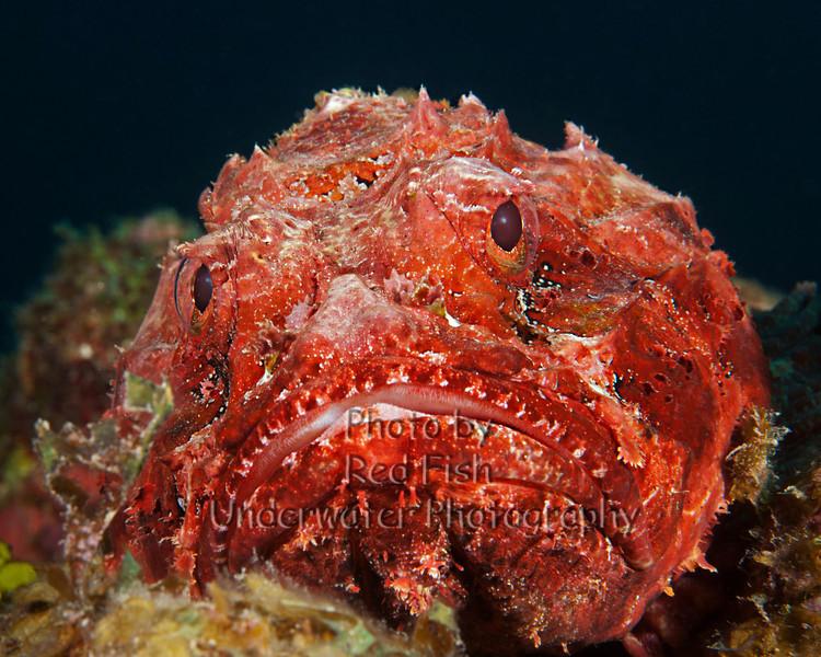Barbfish