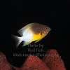 BiColor Damselfish