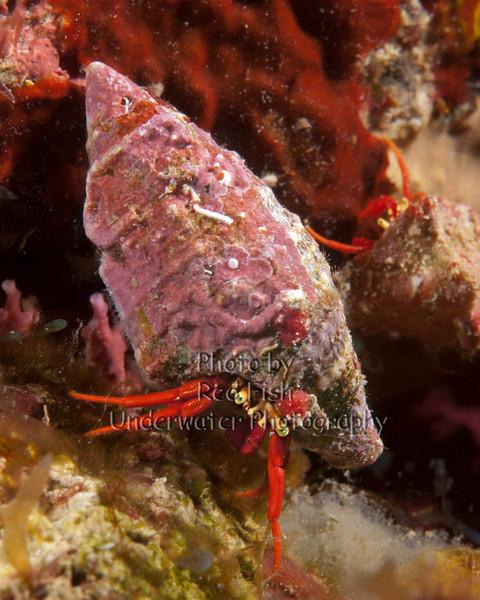 Reef Hermitcrab