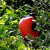 Gular Sac display by a Frigate Bird during nesting season.