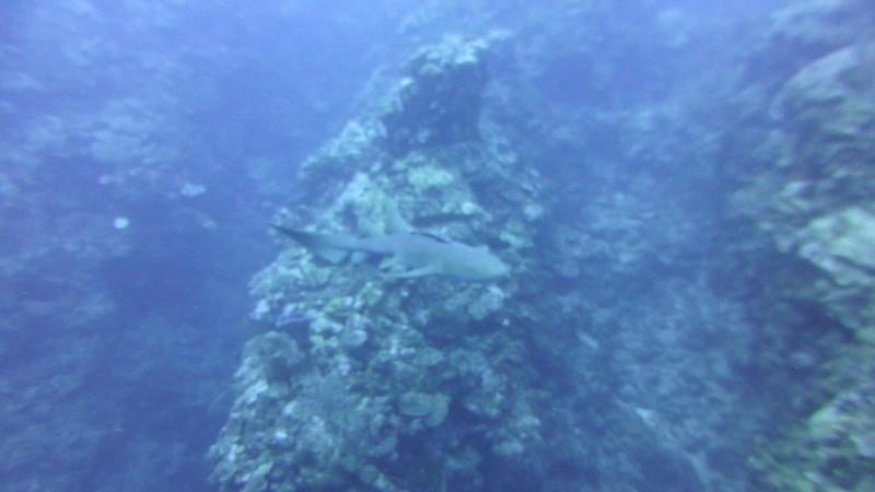 Nurse Shark bumps camera repeatedly