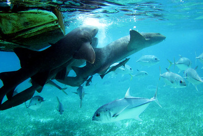Nurse Sharks, Ambergris Caye, Belize