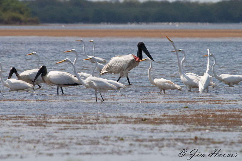 Jabiru with great egrets and storks