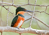 American Pygmy Kingfisher - female<br /> Crooked Tree Wildlife Sanctuary