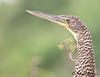 Bare-throated Tiger Heron - immature<br /> Crooked Tree Wildlife Sanctuary