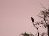Laughing Falcon at sunset<br /> Crooked Tree