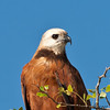 Black-collared Hawk<br /> Crooked Tree Wildlife Sanctuary