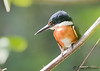 American Pygmy Kingfisher - male