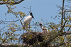 Jabiru and young on nest