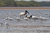 Jabiru among egrets and storks