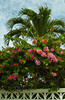 Bougainvillea flowers and palm tree in Belize City, Belize, Central America.