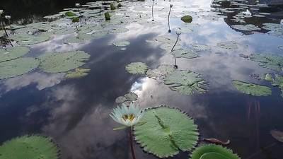 Lillypads and Sky