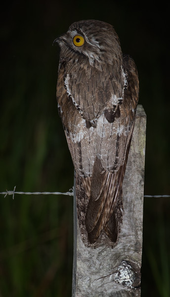 Northern Potoo, Chan Chich