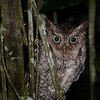Vermiculated Screech Owl, Chan Chich