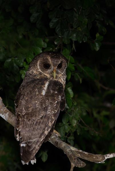 Mottled Owl, Chan Chich