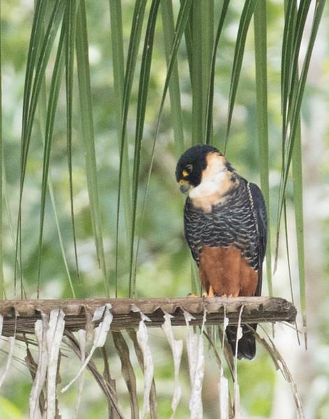 Bat Falcon, Lamanai