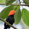 Red-capped Manakin, Lamanai