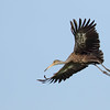 Limpkin, Crooked Tree Lagoon