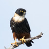 Bat Falcon, Crooked Tree Lagoon