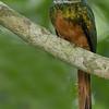 Rufous-tailed Jacamar, Lamanai