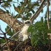 Ornate Hawk-eagle (juv.)