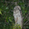 Great Potoo, New River