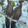 Crested Guan, Chan Chich