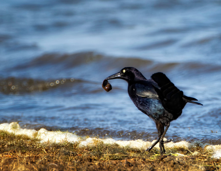 Great-tailed Grackle, Crooked tree