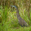 Bare-throated Tiger Heron, New River