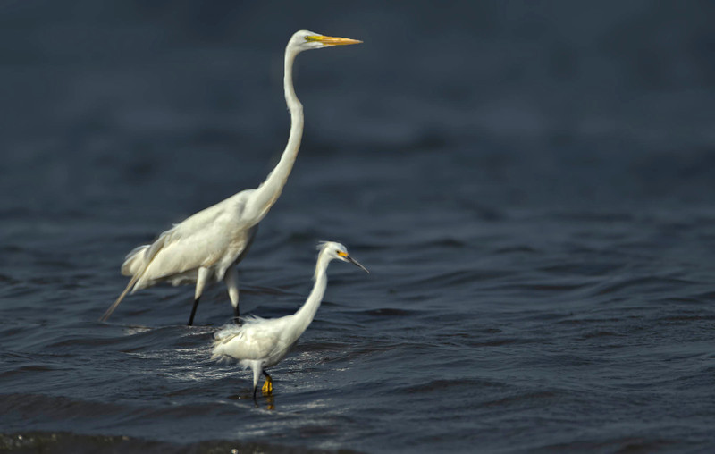 Great and Snowy Egrets, Crooked Tree