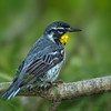 Yellow-throated Warbler, Crooked Tree