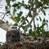 Ornate Hawk Eagle (juv.)