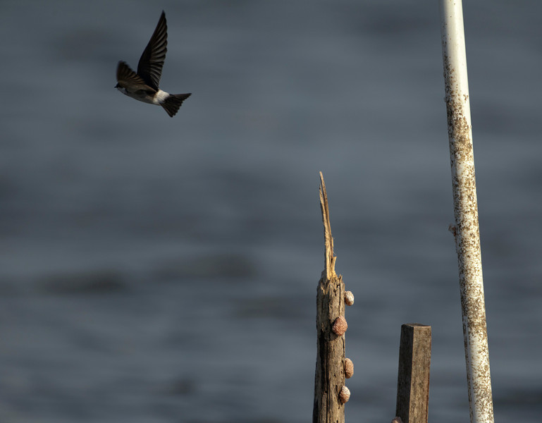 Mangrove Swallow, Crooked Tree