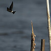Mangrove Swallow, Crooked Tree