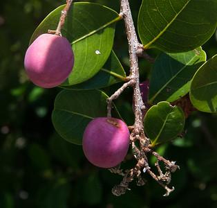 Coco plum