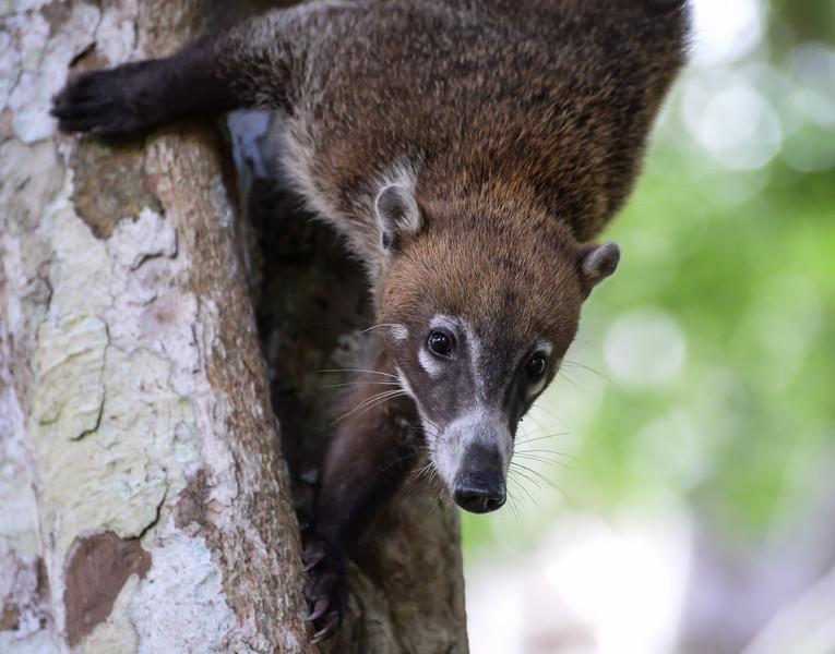Coati (male) at Tikal
