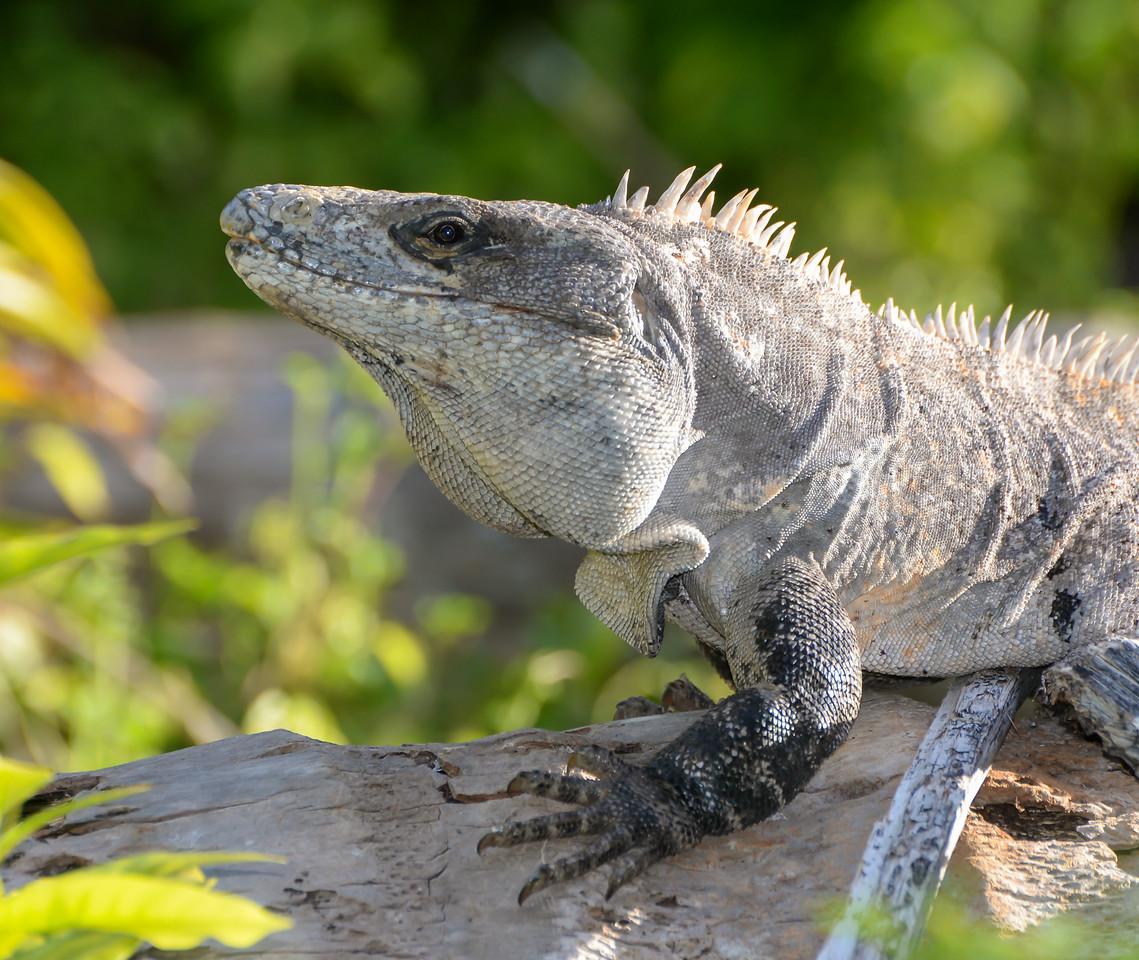 Spiny-tailed Iguana at Half Moon Caye