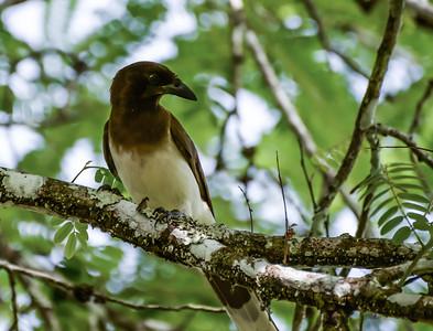 Brown Jay at Tikal