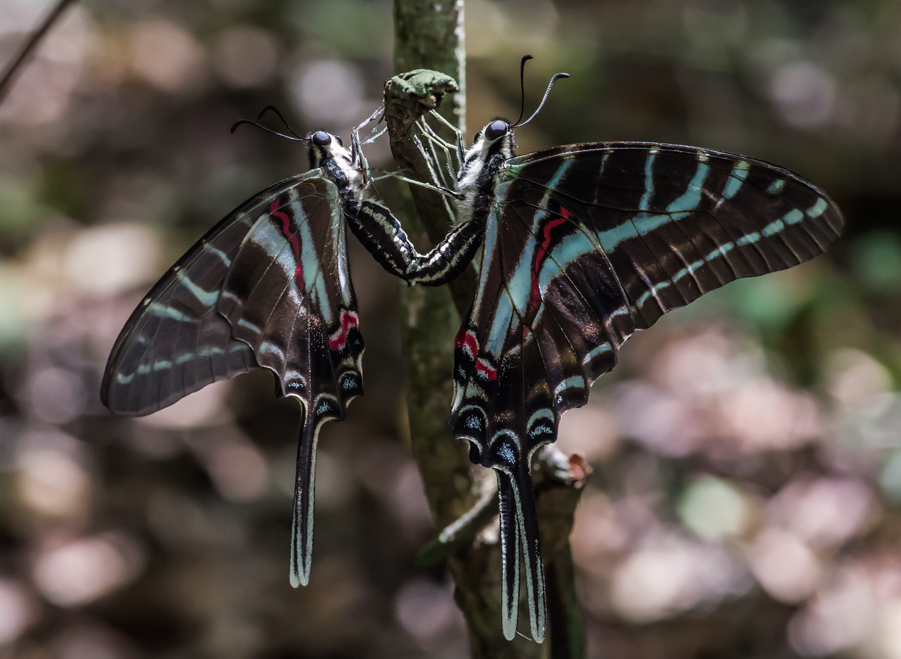 Dark Kite-swallowtail (female and male) in the Chiquibul forest