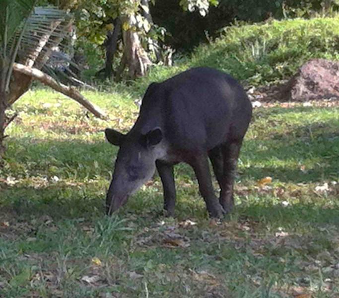 Tapir off Sittee River road